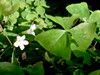 Oxalis regnellii