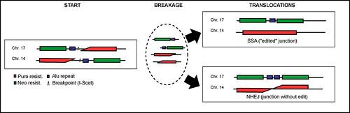 chromosomal repair