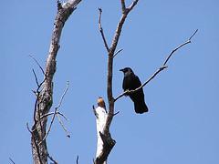 Crow & Robin