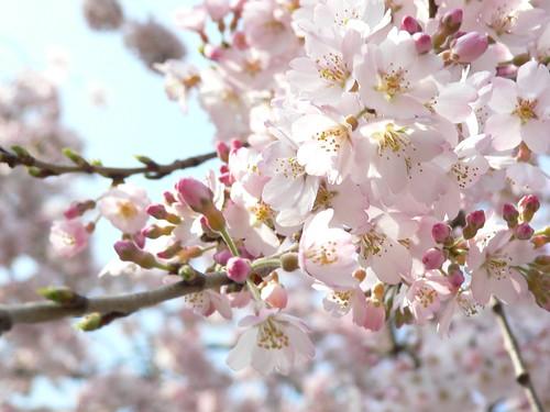 Cherry blossom in Ueno