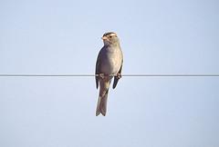 whitecrownsparrow
