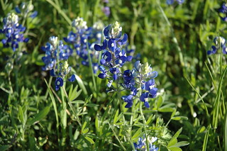 Bluebonnet | by stickywikit