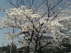sakura_niigata.jpg