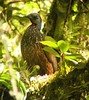 Andean Guan (Penelope montagnii) by Olivier Barden