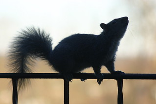 squirrel   by grendelkhan
