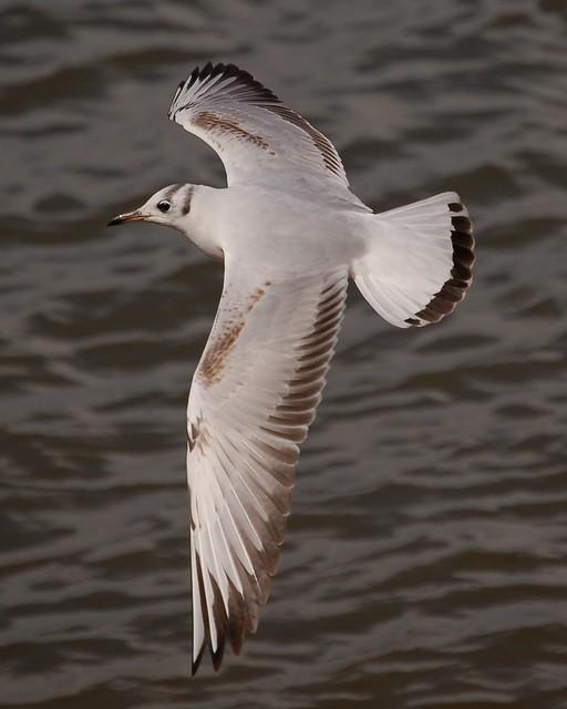 Guincho / Black-Headed Gull