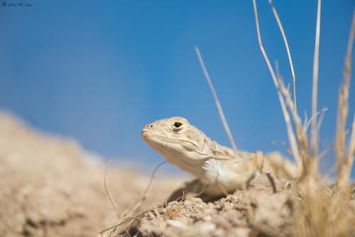 Blunt-Nosed Leopard Lizard (Gambelia sila) | by Chad M. Lane