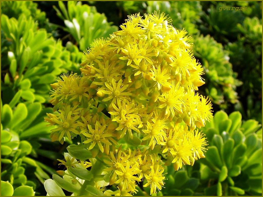 flores da madeira aeonium arboreum ensai o houseleek