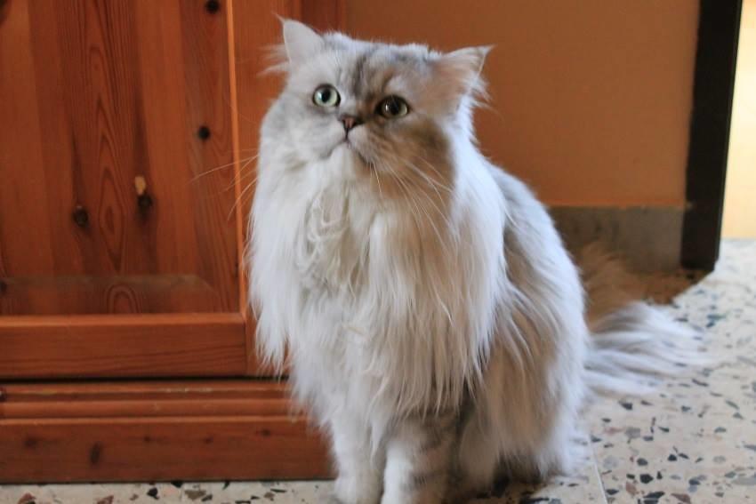 Gatto Persiano Chinchilla Silver Romeo 16 Mesi In Tutto Flickr