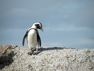 African Penguin relaxing in Boulders Beach | by Nick Perretti