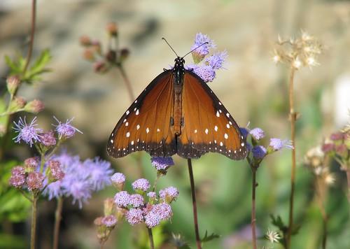orange butterfly texas danausgilippus milkweedbutterfly balconescanyonlands queenbutterfly williamsoncounty mlhradio balconescanyonlandsnationalwildlifereserve
