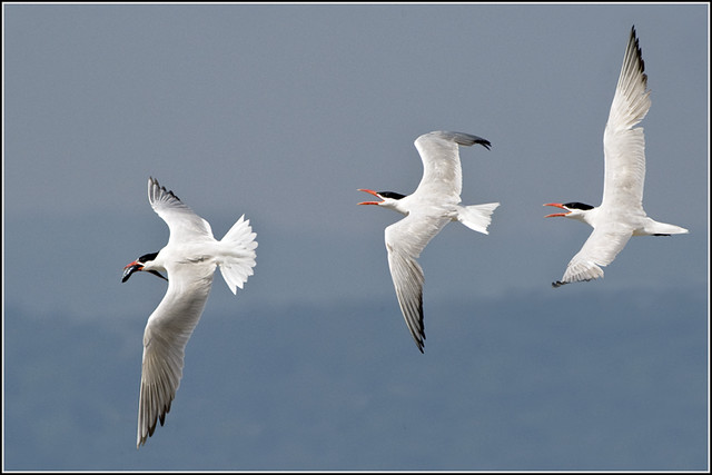 Tern (Caspian) - 0616