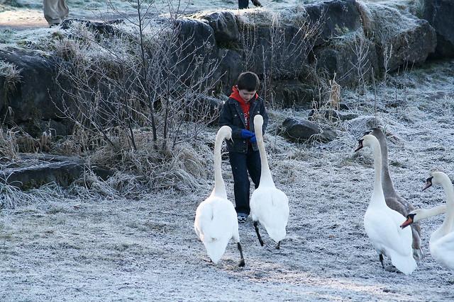 Small boy feeds big swans