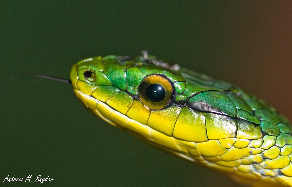 Parrot snake by Andrew Snyder Photography