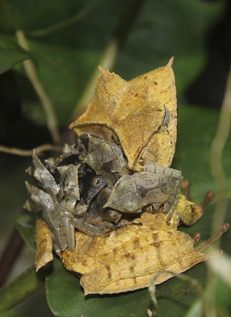 Hemiphractus fasciatus with babies