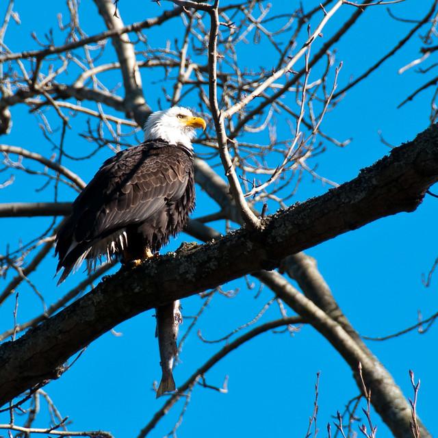 bald eagle in seattle