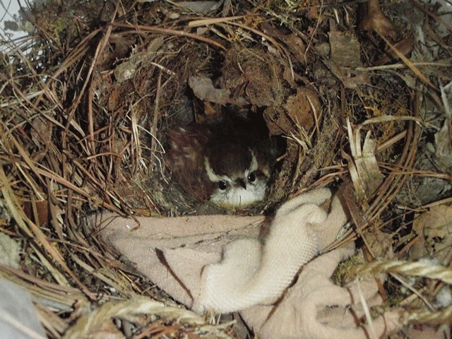 Carolina-Wren-nest-in-garage-zoom