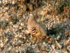 See-see Partridge, Birecik (Turkey), 12-May-10 by Dave Appleton