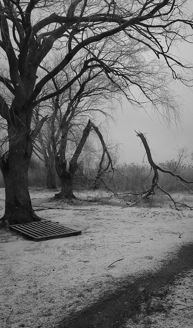 Tree at Lake Quannapowitt torn by winter wind; Wakefield, MA (2010)