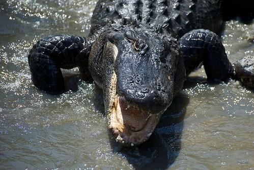 sc geotagged zoo myrtlebeach nikon teeth alligator southcarolina northmyrtlebeach alligatoralley d700 geo:lat=33799887 geo:lon=78739164