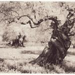 Olive Trees Dreamland
