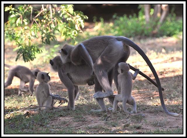 It's a family affair!  Grey Langur Monkeys.
