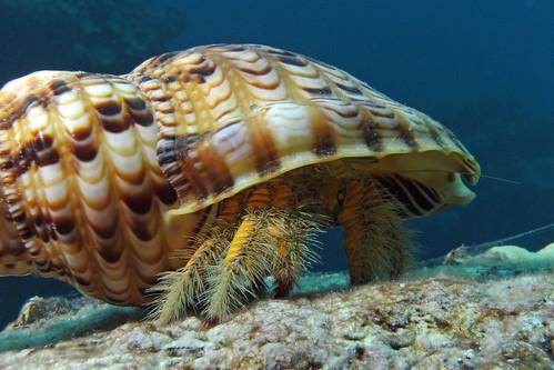 Hairy Yellow Hermit Crab 6/3/10c