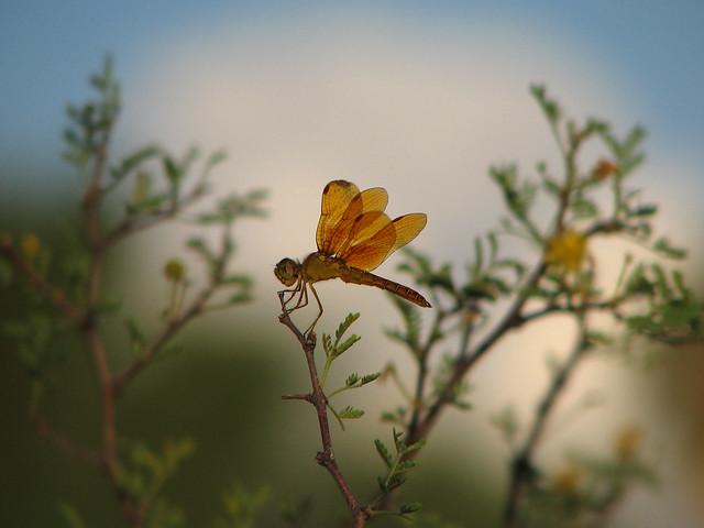 Amberwing Dragonfly on Acacia