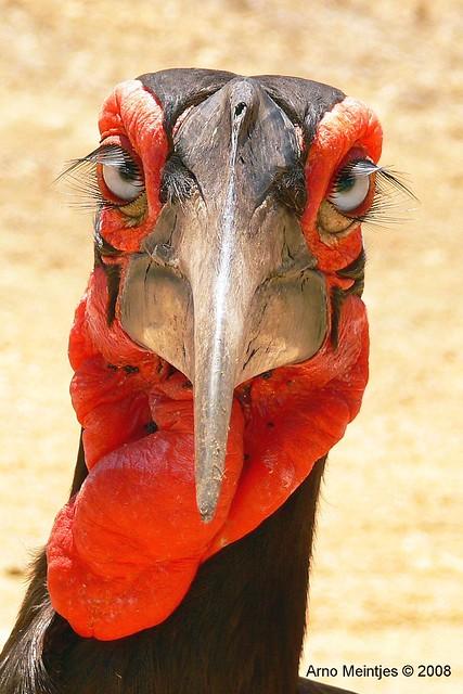 Southern Ground-hornbill (Bucorvus leadbeateri or cafer) (Endangered)