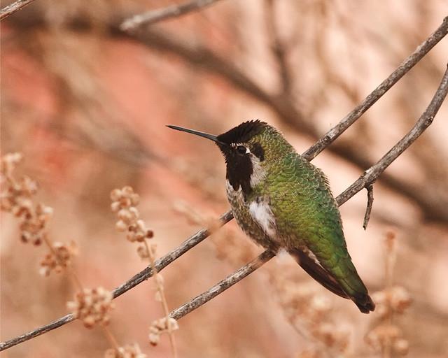 Annas_Hummingbird_0410_Sedona_2009_resized