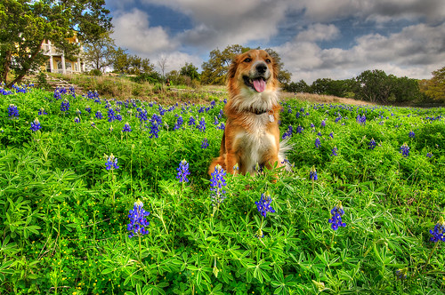 usa dog austin jake tx bluebonnet canine wildflower