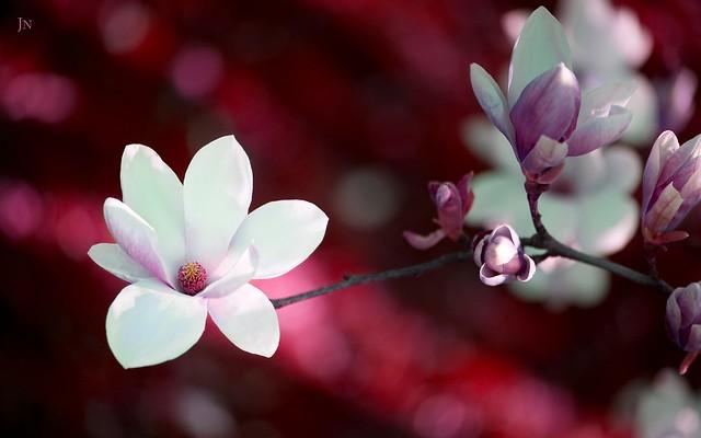 Annie Blossom