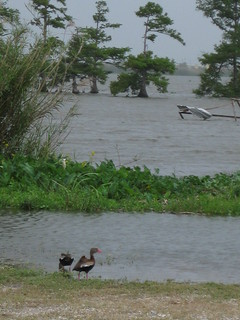 Ducks Near Gulf Coast Oil Spill Site