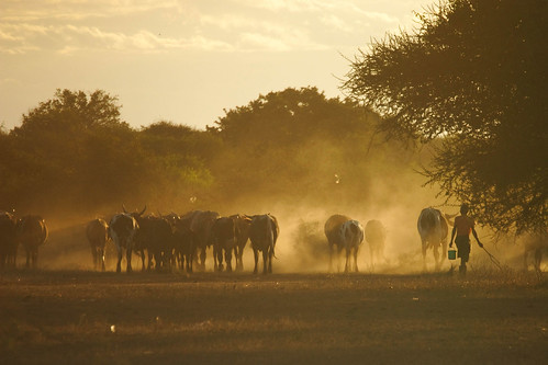 Jul/2008 - Cattle coming in from the fields in the evening in Lhate Village, Chokwe, Mozambique (photo credit: ILRI/Stevie Mann).