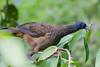 Guacharaca  (Ortalis guttata columbiana) by alejocock
