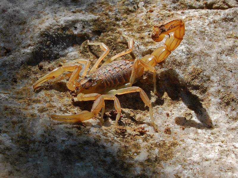 Common Yellow Scorpion - (Buthus occitanus) and shadow. Spain.