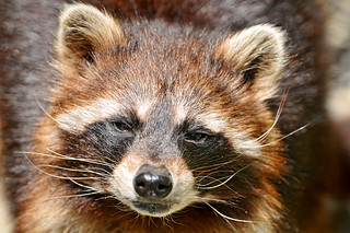 Portrait of a cute raccoon | by Tambako the Jaguar