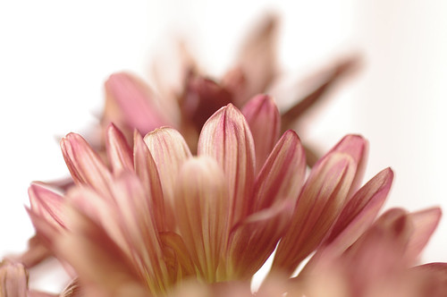 Petals | by djking