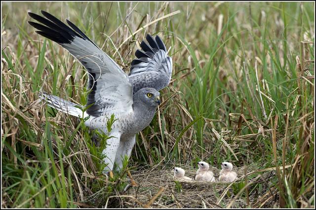 Hawk (Northern Harrier) - 0264