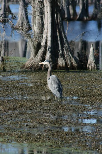 A Blue Heron In The Cypress Trees