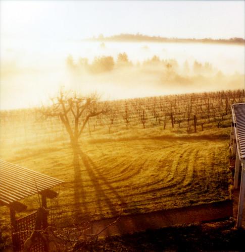 sunlight mist tree film apple fog polaroid vineyard view valley 600 sebastopol slr680 furlong