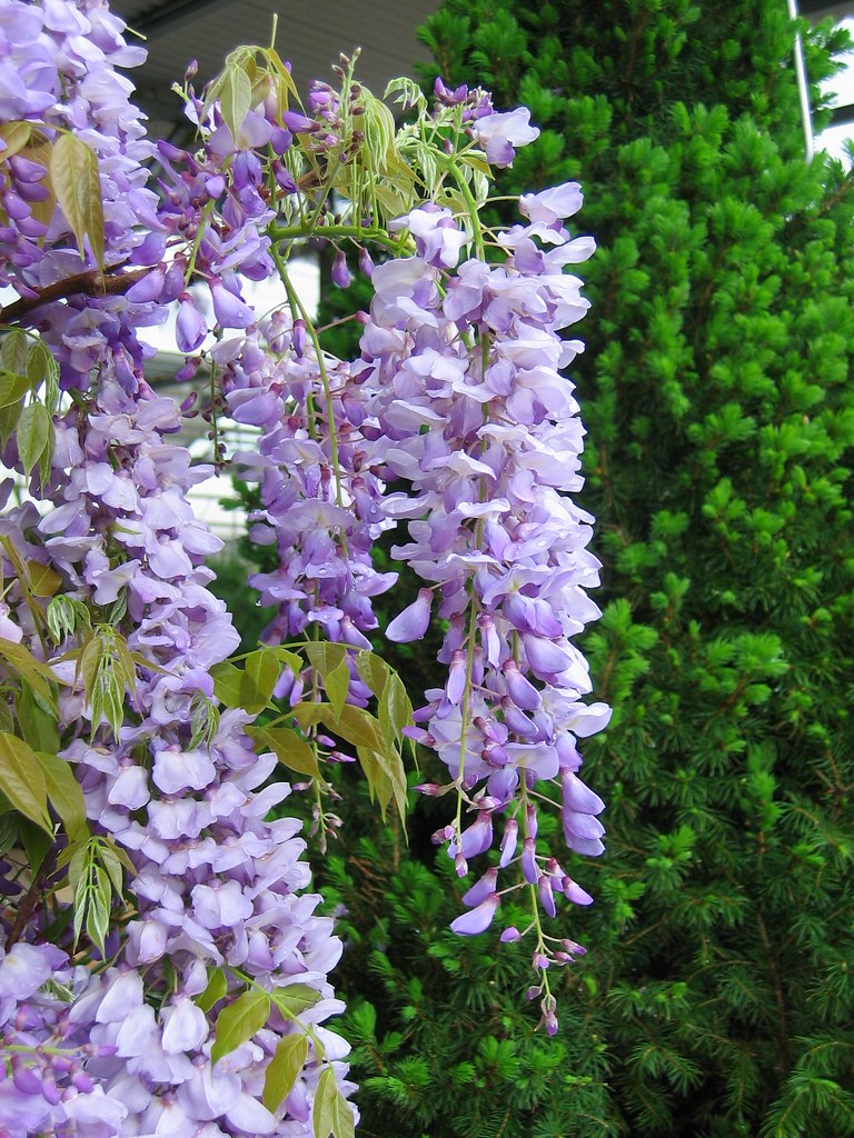 Lavender Falls Wisteria Repeat Blooming Lavender Falls Wis Flickr
