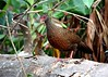 Red Spurfowl by Aithal's