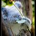 Cuddly Koala munches on a leaf