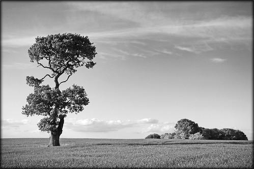 Bower Lane Oak