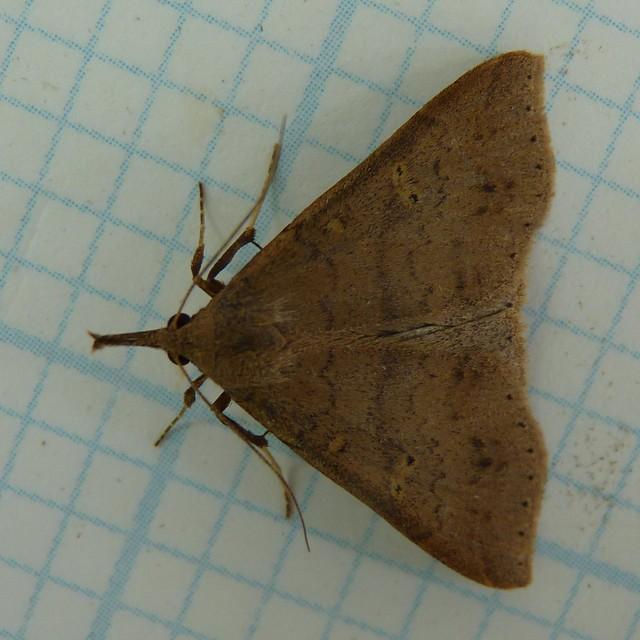 Speckled Renia Moth