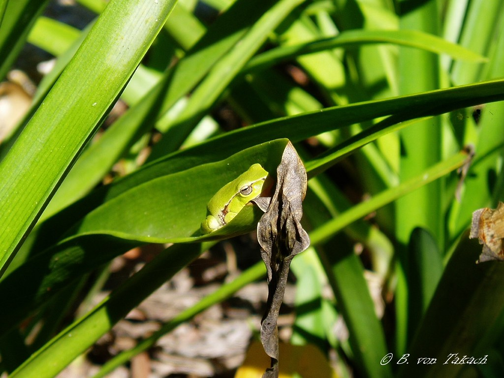 Green stream tree frog (Litoria phyllochroa)