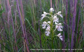 Eastern fringed Prairie Orchid