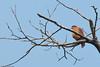 Tiny Hawk by keefeeb