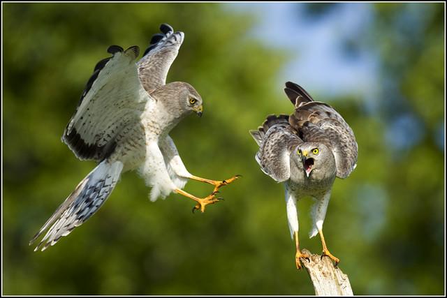 Hawk (Northern Harrier) - 0959